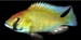 meno1C_Astatotilapia_calliptera_HULL_UNIVERSITY_620x305_thumb