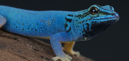 Electric blue gecko / Lygodactylus williamsi