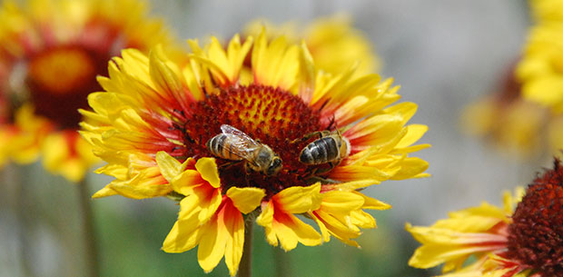 Gaillardia_aristata_Pursh_620x305